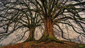 Audio: Die heiligen Bäume